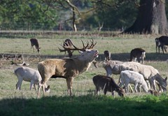Stag & Hinds (2 of 2) - Taken at Boughton House Estate, Kettering, Northants. UK (Ian J Hicks) Tags: