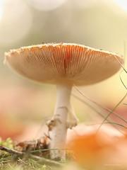Fly agaric (Manon van der Burg) Tags: happydays paddenstoelenjacht brabant inhetbos sigma105mm canon80d bokeh lowpov depthoffield heerlijkeherfst autumn intheforesr macrophotography funghi mushroom paddenstoel roodmetwittestippen flyagaric vliegenzwam
