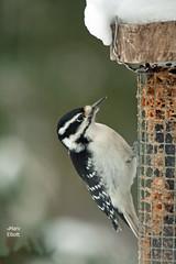 4673 Hairy Woodpecker (vtbirdhouses) Tags: hairywoodpecker