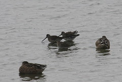 Long-billed Dowitchers (Terrance Carr) Tags: dncb 201843 reifel terry carr terrycarr 20181023 2018 october