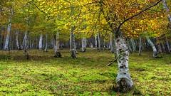 Bosque abedul otoño cantabria (VILO Image) Tags: pejanda cantabria otoño abedul bosque