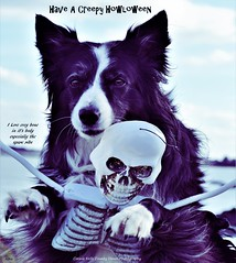I Love the Bones off him... (ASHA THE BORDER COLLiE) Tags: halloween funny dog picture skeleton bones caption joke ashathestarofcountydown connie kells county down photography