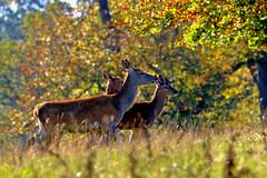 Red Deer Hind (robin denton) Tags: nature wildlife yorkshire reddeer hind animal autumn cervuselaphus contrejour autumnlight studleyroyal nationaltrust deerpark deer autumnleaves