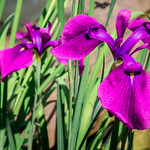 Genji Iris thumbnail