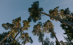 Fine Friends (Thomas Listl) Tags: thomaslistl color tree nature flora green blue sky forest pine wood mighty wideangle 24mm