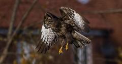 Buzzard in Flight-5 (tiger3663) Tags: buzzard flight yorkshire wildlife park