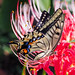 butterfly with spider lily (Christine_S.) Tags: nature garden summer olympus25mmf18 olympusem10markiii