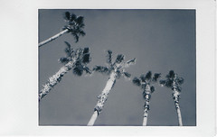 Palm Winds (H o l l y.) Tags: lomography lomoinstant instax instant film analog bw black white no color palm trees nature sky wind movement 5 retro indie vintage aesthetic