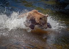 Pouncing (Chris Willis 10) Tags: bears canada surfing vancouver animal nature water mammal river wildlife bear carnivore animalsinthewild large outdoors danger brownbear lake power alaska grizzly pouncing