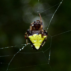 Arrowhead Spider (Dendroica cerulea) Tags: arrowheadspider verrucosaarenata verrucosa araneidae entelegynes araneomorphae araneae arachnida chelicerata arthropoda spider invertebrate orbweaver arachtober autumn highlandparkmeadows highlandpark middlesexcounty nj newjersey