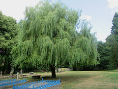 Weeping Willow Tree... (Marie on Flickr) Tags: weeping willow holy trinity church much wenlock shropshire grave yard