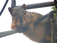IMG_0962 (kennethkonica) Tags: nature animalplanet animal animaleyes autumn canonpowershot canon usa america midwest indianapolis indiana indy color outdoor wildlife squirrel