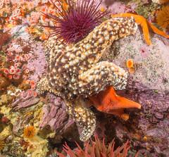 PA140070 Wide.jpg (alwayslaurenj) Tags: greatpinnacle montereycarmel pointlobos seastarwasting