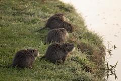 Water Voles (Marie Godliman) Tags: watervole voles vole waterhole animal wild river