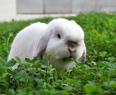 きしめんくん (ココロのおうち) Tags: rabbit bunny pet 動物 うさぎ ペット うさぎ専門店 ココロのおうち うさぎラブ