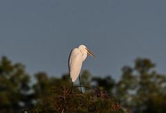 10-18-18-0038613 (Lake Worth) Tags: animal animals bird birds birdwatcher everglades southflorida feathers florida nature outdoor outdoors waterbirds wetlands wildlife wings