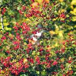 Kingfisher thumbnail