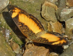 crescent (Birdernaturalist) Tags: bolivia butterfly lepidoptera melitaeini nymphalidae nymphalinae richhoyer