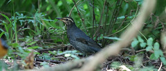 Siberian Thrush (khoitran1957) Tags: bird nature vietnam wildlife