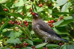 Cedar Waxwing (JDA-Wildlife) Tags: birds nikon nikond7100 tamronsp150600mmf563divc jdawildlife johnny portrait closeup eyecontact cedarwaxwing waxwingcedar waxwings whatbirdbestofday