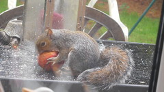 Having  his*5*  aday 2 (claire artistandpoet Stroke Survivor) Tags: squirrel apple autumn tail fur