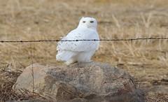 Snowy Owl  5195 (robenglish64) Tags: snowyowl