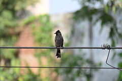 DSC_0460 (vireshwali) Tags: d5600 nature birds gurgaon in
