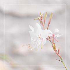 Douceur !! (thierrymazel) Tags: flowers bokeh pdc dof profondeurdechamp pastel doux douceur