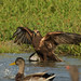 Falco di Palude - Marsh Harrier (gianni_62) Tags: