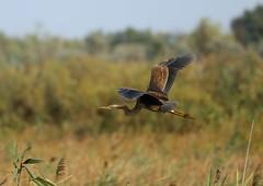 Purple Heron --- Ardea purpurea (creaturesnapper) Tags: danubedelta romania europe birds herons waterbirds purpleheron ardeapurpurea