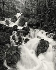 Abundance (Eddie La Mole) Tags: juandiego elyunque cascades rainforest blackandwhite monochrome
