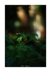 2018/8/31 - 5/9 photo by shin ikegami. - SONY ILCE‑7M2 / New Jupiter 3+ 1.5/50 L39/M (shin ikegami) Tags: macro マクロ 紫陽花 flower 花 井の頭公園 吉祥寺 summer 夏 sony ilce7m2 sonyilce7m2 a7ii 50mm lomography lomoartlens newjupiter3 tokyo sonycamera photo photographer 単焦点 iso800 ndfilter light shadow 自然 nature 玉ボケ bokeh depthoffield naturephotography art photography japan earth asia