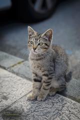 That eyes ... (Oddiseis) Tags: cat animal little asturias sotodelbarco spain city tamron247028 soft lovely kitten street eyes