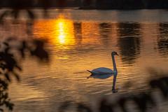swan at sunrise (phlickrron) Tags: swan sunrise outdoors hiking nature donau regensburg reflection water animals wildlife