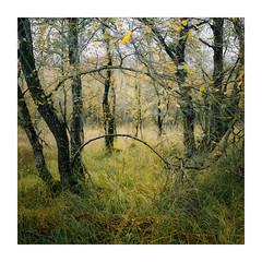 Hoops (gerainte1) Tags: trees autumn film velvia50 hasselblad501 colour