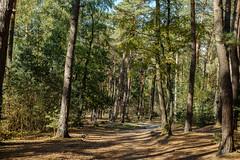 Warm light in the autumn pine forest (RIch-ART In PIXELS) Tags: brunssumerheide heerlen zuidlimburg fujifilmxt20 xt20 pineforest pine tree sky path soil woodland forest landscape thenetherlands nederland limburg