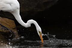 Eastern Great Egret (Ardea modesta) (Ian Colley Photography) Tags: bird canoneos7dmarkii ef500mmf4lisusm queensland easterngreategret ardeamodesta