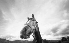 Arlequín en retrato para el mito (Felipe Cárdenas-Támara) Tags: caballos leica animales arlequín