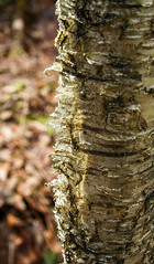 Bark (ETt_) Tags: bark birch yellowbirch tree yellow forest spring texture