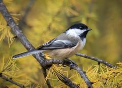 Chickadee (Jan Whybourne) Tags: bird chickadee fall perch tiny gold wings