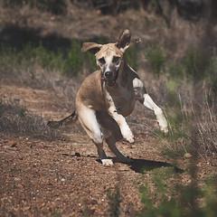 9 seconds hunt (3/9) (rischefantorus) Tags: dog hunt grasshopper locust sonya7iii nue sony fe 90mm