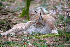 Oh, I'm a sweet one! (Andriy Golovnya (redscorp)) Tags: lynx luchs wildpark poing wildparkpoing bayern bavaria deutschland germany sun sunny day beautiful light