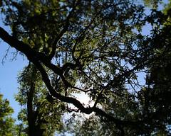 Oaks Bottom (Tony Pulokas) Tags: blur tree oaksbottom portland oregon oaksbottomwildlifepreserve tilt bokeh autumn fall ash oregonash fraxinus forest oak oregonoak oregonwhiteoak sun