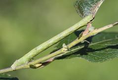 Peppered moth larva (Biston betularia). (Bob Eade) Tags: larva pepperedmoth caterpillar macromoths moths macro autumn camouflage lepidoptera fristonforest eastsussex