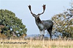 Fallow Buck (vampiremoi) Tags: buck nature nikon d500 tamron g2 150600 fallow deer knole park