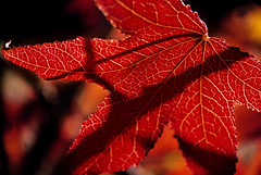 Red leaf (M4x G4x) Tags: liquidambar feuille leaf ombre red rouge styraciflua macro bokeh