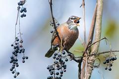 Robin and the Berries (Kitty Kono) Tags: robin berries valleyforge kittyrileykono