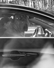 Riding Shotgun! (SPP - Photography) Tags: dog'slife shotgun rider car dog