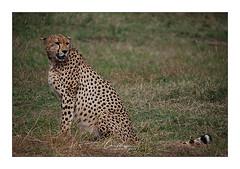 Guépard Masai Mara Kenya (Claire PARMEGGIANI Photos) Tags: africa africangallery africanlife africanwildlife eastafrica gamedrive kenya safari tsavo wildlife wildafrica cheetah