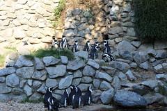 South African Penguines (Las Cuentas) Tags: penguine pinguine zoo burgerszoo tiere vögel canon eos 4000d canoneos4000d